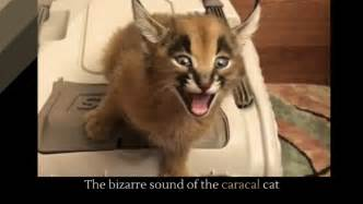 the sound cat the sound of the caracal cat holy kaw