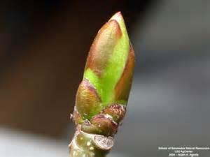 Eastern Cottonwood Buds