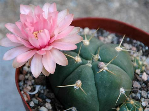Gymnocalycium horstii (Sider Cactus)   World of Succulents