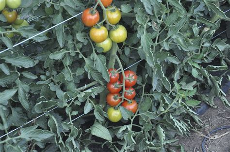List of tomato cultivars - Wikipedia