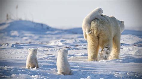 Funny Polar Bears ★ Funny & Cute Polar Bears [funny Pets