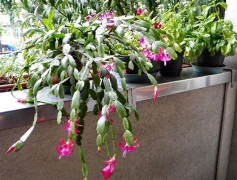 piante fiorite da terrazzo piante grasse fiorite piante grasse piante grasse in fiore