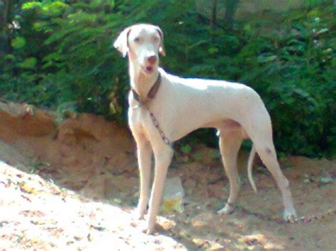rajapalayam puppies  salejeikumar  dogs