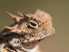 Desert Lizard Horned Toad