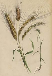 Wheat Drawing by German Botanical Artist