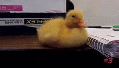 baby ducks GIFs Search | Find, Make & Share Gfycat GIFs