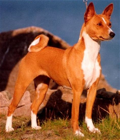 basenji breed remarkable dogs