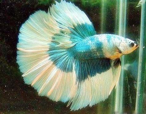 kodai iqfa galeri ikan ikan cupang bentuk indah