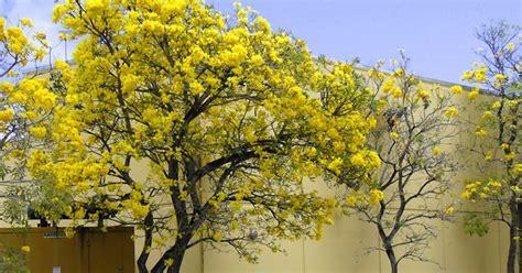 jual pohon tabebuya kuning jual tanaman hias