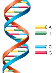 What Does Atgc Stand For In Dna the gallery for gt dna double helix model project ideas