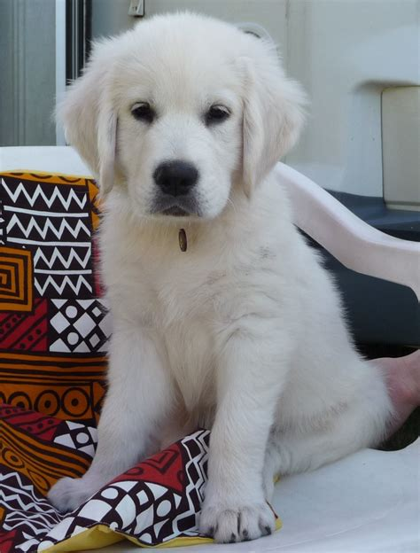 filewhite golden puppyjpg wikimedia commons