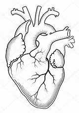Human Heart Outline Anatomical Internal Coloring Pages Organ Drawing Metarnews sketch template