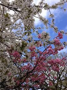 Rosa Blüten Baum : meine woche in bildern kw 18 pink chillies ~ Yasmunasinghe.com Haus und Dekorationen
