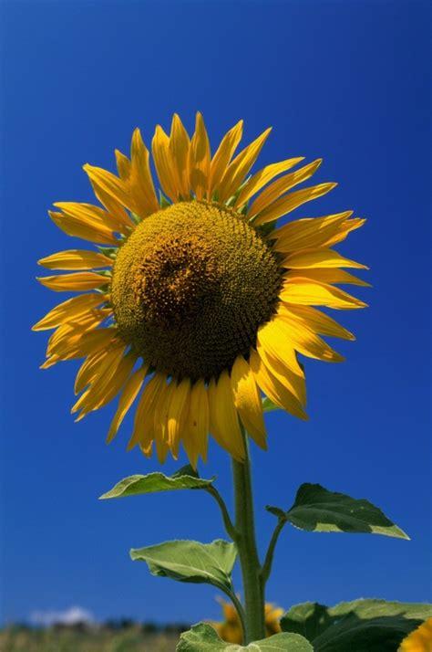 Sunflower Photos   ThriftyFun