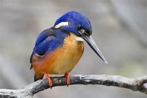 Kingfisher - Wikipedia  Kingfisher