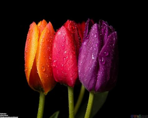 Wallpaper Of Tulip by Tulip Wallpapers Wallpaper Cave
