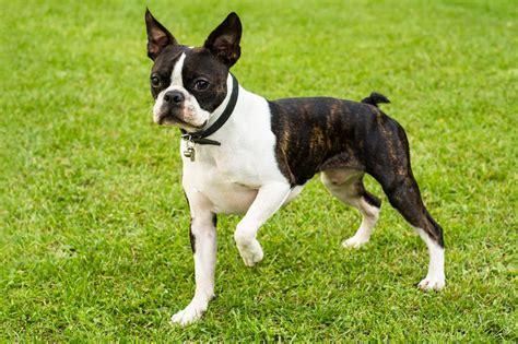 meet  boston terrier