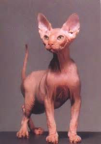 no hair cat for a cats hairless cat breeds need health insurance