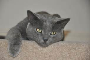 russian blue cat for malvern worcestershire