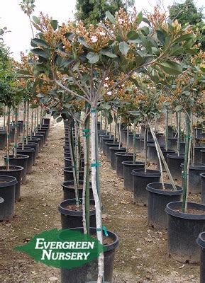 rhaphiolepis majestic beauty patio tree evergreen nursery