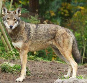 north carolina international wolf center