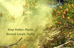 Record Pine Pollen: No Holiday for Allergies | Asthma Center