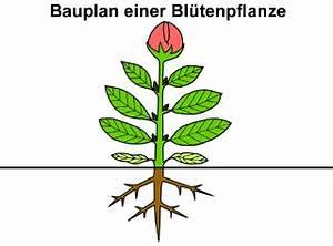 Bau Der Pflanze : mediendatenbank biologie pflanzenzelle ~ Lizthompson.info Haus und Dekorationen