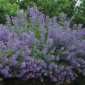 cat mint how to plant a garden that will look like it s been there