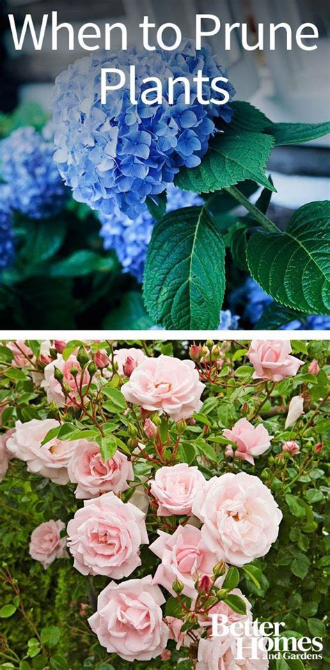 when to prune roses shrubs shade trees and fruit trees on pinterest