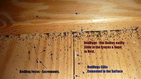 Bedbugs Frequently Asked Questions Faq Quest Pest