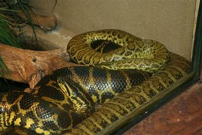 Anaconda Yellow Snakes Snake Wallpapers Dangerous Jungle
