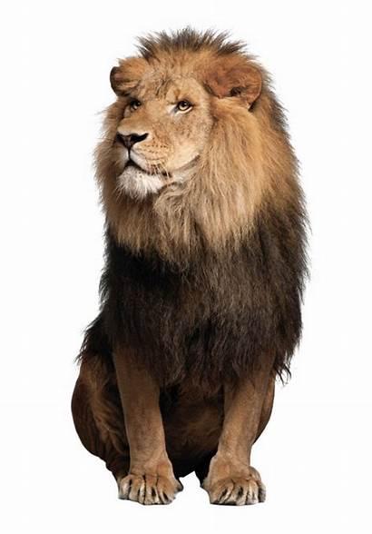Lion Lions Sitting Leo Animal African Panthera
