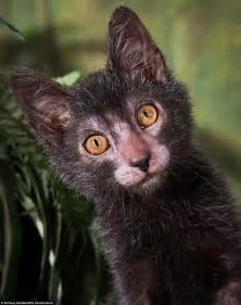 lykoi cat unique lykoi breed of cat christened cats see a