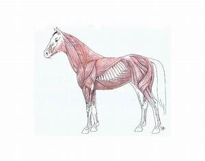 Muscle Anatomy Of A Horse