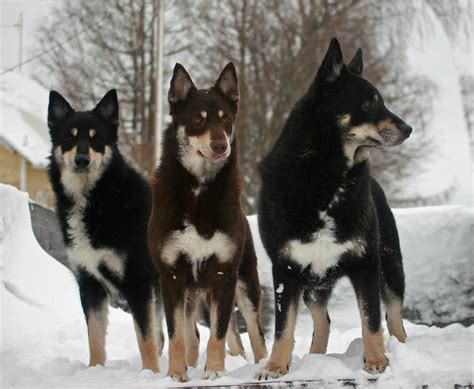 lapponian herder pictures american kennel club
