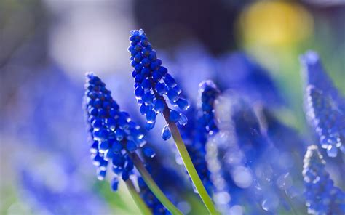 blue flowers 14096 2560x1600 px hdwallsource com