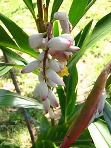 11 Pflanzen Methode : ingwer im garten paraguay24 die geschichte unserer ~ Lizthompson.info Haus und Dekorationen