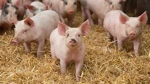 Pig Market Outlook Promising Into 2017
