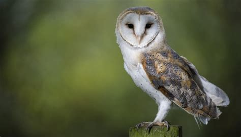 All About The Barn Owl (tyto Alba)