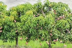 Boost Mango Tree Growth