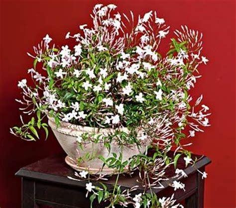 Jasmine, Jasmine Plant And House Plants On Pinterest