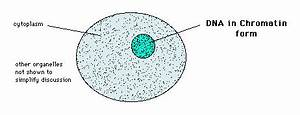 Human Cheek Cell Diagram Labeled