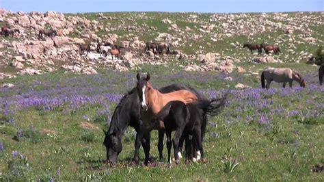 horses wild montana pryor mountains mountain horse mustangs wyoming roaming