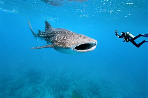 whale shark diet fascinating facts