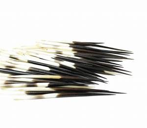 African Porcupine Quills from Geo Evolution