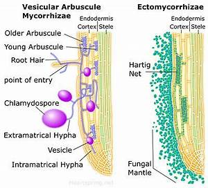 Diagram of vesicular arbuscular mycorrhizae and ...