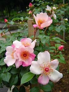 Sweet Pretty Rose : sweet pretty meilland 2005 90 2011 envy ~ A.2002-acura-tl-radio.info Haus und Dekorationen