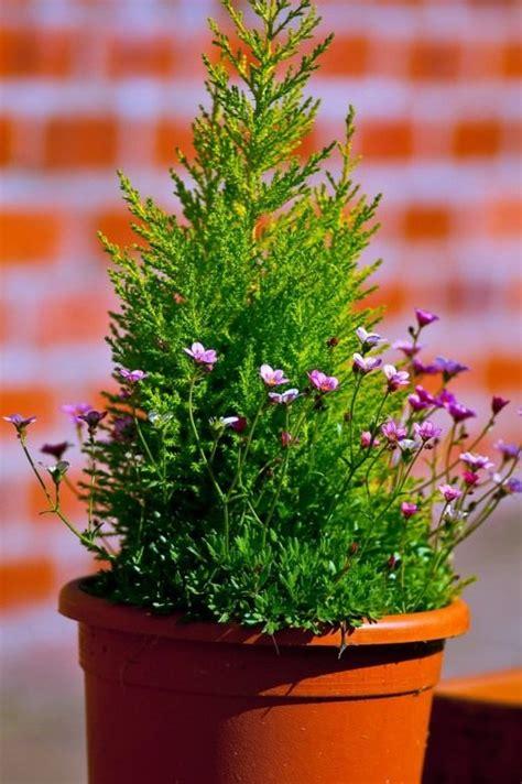 entretien bougainvillier en pot комнатные садовые растения удобрение подкормка виды свойства фото минеральное