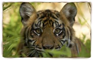 Kids Facts About Tigers Habitats