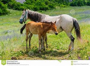 Foal And His Mother Horse, Breastfeeding Stock Image ...